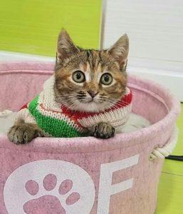 Kitten wearing a sweater in a pink basket.